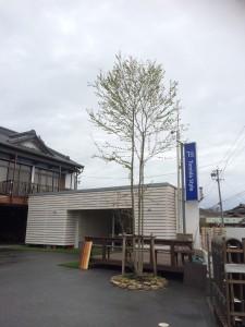 かつらの木 (2)